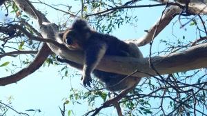 sleeping koala up in a tree